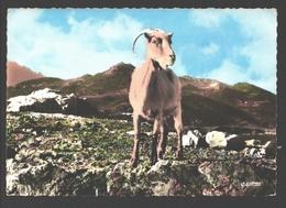 Mouflon De Corse En Montagne / Moeflon - Animaux & Faune