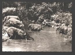 A Travers Le Congo - Elephants Sauvages - Éléphants