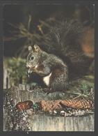 Ecureuil / Eekhoorn / Squirrel - Animaux & Faune