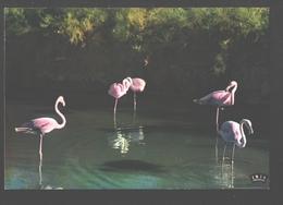 Pink Flamingos / Rosa Flamingos - Oiseaux