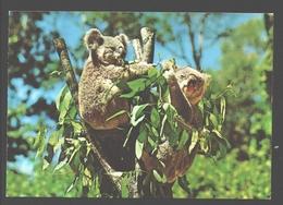Koala - Animaux & Faune