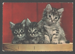 Kittens / Chatons - Chats
