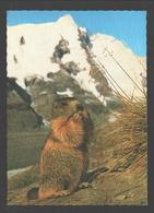 Murmeltier Am Grossglockner / Marmot / Marmotte - Chats