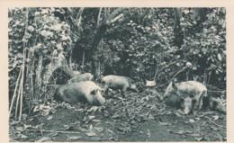 New Hebrides (Vanuatu) Ouala Boars In Jungle, C1920s/30s Vintage Postcard - Vanuatu