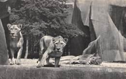 75 - PARIS - Parc Zoologique Du Bois De Vincennes - Lion Et Lionnes Sur Leur Plateau - Distretto: 12