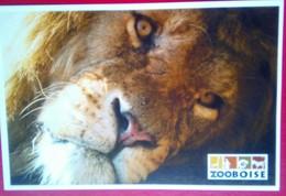 Zoo Boise   Lion - Boise