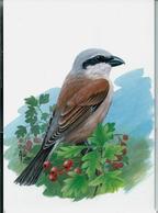 Carte Blanco : Pie - Grieche écorcheur  -  Grauwe Klauvier - 1985-.. Pájaros (Buzin)