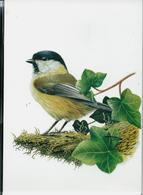 Carte Blanco : Mésange Boréale  -  Matkop - 1985-.. Pájaros (Buzin)