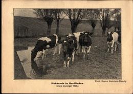 ! Alte Ansichtskarte Kuhherde In Dreilinden, Kreis Danziger Höhe, 1931 - Danzig