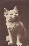 Chat Cat Katze   Old Photo Cpa. 1913 - Katten