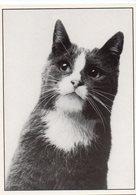 (chats) Photo Noir Et Blanc De Albert MAIGNE   Portraits De Chats N°8  Ed Le Coin Du Sac ,Samatan  (PPP19816) - Katten