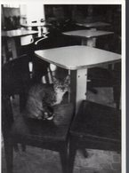 (chats) Photo Noir Et Blanc Golbin  Coll Chats N°4 (PPP19819) - Katten