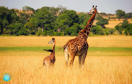 1 Magnet Neuf Theme Animaux Girafe - Animaux & Faune
