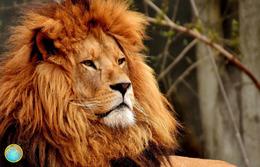 1 Magnet Neuf Theme Animaux Lion - Animaux & Faune