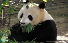 1 Magnet Neuf Theme Animaux Panda - Animals & Fauna