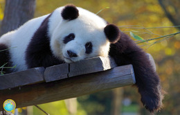 1 Magnet Neuf Theme Animaux Panda - Animaux & Faune