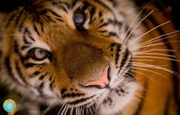 1 Magnet Neuf Theme Animaux Tigre - Animaux & Faune