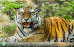 1 Magnet Neuf Theme Animaux Tigre - Animals & Fauna