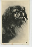 CHIENS - DOG - Jolie Carte Fantaisie Chien épagneul Du Tibet - Honden