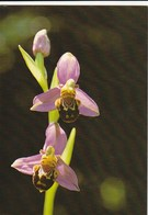 BEE ORCHID - YEAR ? - Israel