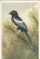 V46. Vintage Postcard. Magpie. Bird. By D M Henry. - Vogels