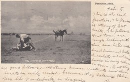 Phoenix Arizona, Tying A Steer Cowboy Cattle Ranching Lasso C1900s Vintage Postcard - Phoenix