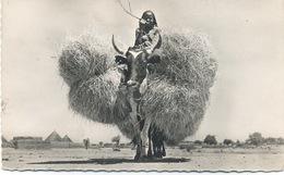 Tchad - Abeche , Boeuf Porteur . - Tschad