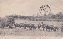 Kisantu - Rijstoogst - Belgian Congo - Other