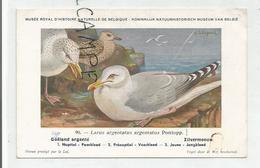 Larus Argentatus Argentatus / Goëland Argenté. Signée Hubert Dupond - Oiseaux