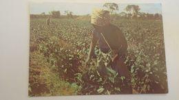 D166658 ZAMBIA - Harvesting Tea -A Zambian Woman Picking Tea Leaves At KAWAMBWA -Tea Estates  Luapula Province - Zambia