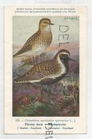 Charadrius Apicarius Apicarius / Pluvier Doré. Signée Hubert Dupond - Uccelli