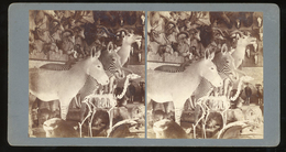 Stereoview - Museum Taxidermy Display - Visionneuses Stéréoscopiques