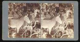 Stereoview - Museum Taxidermy Display - Stereoscopi