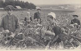 ROSCOFF Et SAINT-POL-de-LEON: La Récolte Des Artichauds - Roscoff
