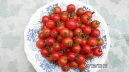 25 Graines De Tomates Cerise Ronde Rouge Et 25 Jaune Cultivé Bio En Serre Et En Pleine Terre Sans Bouillie Bordelaise - 2. Graines
