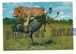 Lion Et Zébu. Africa Dell'est. Fauna Africana. - Lions