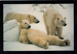 Animaux °° Ours Blancs Sur La Banquise - écrite 10x15 - Beren
