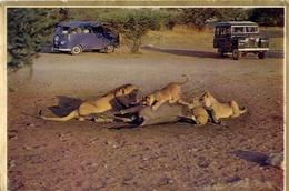 Lion Party Okakueyo Etosha Pan - S.w.a. Leeupartyjie - Formato Grande Viaggiata Mancante Di Affrancatura – E 13 - Leoni
