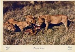 Fauna Africana - Leone - 166 - 13 - Formato Grande Non Viaggiata – E 13 - Leoni
