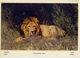 Fauna Africana - Leone - 166 - 21 - Formato Grande Non Viaggiata – E 13 - Leoni