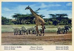 Fauna Africana - Zebra Di Grant E Giraffa - 166 - 6 - Formato Grande Non Viaggiata – E 13 - Giraffe