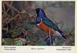 Fauna Africana - Sturno Superbo - 166 - 23 - Formato Grande Non Viaggiata – E 13 - Uccelli