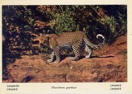 Fauna Africana - Leopardo - 166 - 12 - Formato Grande Non Viaggiata – E 13 - Non Classificati