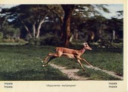 Fauna Africana - Impala - 166 - 9 - Formato Grande Non Viaggiata – E 13 - Non Classificati