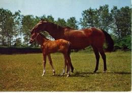 Cavallo Con Puledro - Formato Grande Viaggiata – E 13 - Cavalli