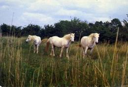 La Camargue - Chevaux En Libertè - Cavalli In Libertà - Formato Grande Non Viaggiata – E 13 - Cavalli