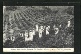 AK Hoeing And Weeding Jamaica Tea Garden - Postkaarten