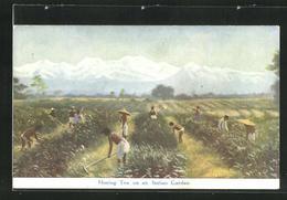 AK Hoeing Tea On An Indian Garden, Tee-Plantage In Indien - Postkaarten