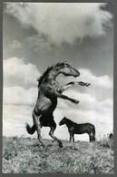 Photo Press - CHEVAL CHEVAUX HIPPISME - HORSE - CAVALLO - Foto