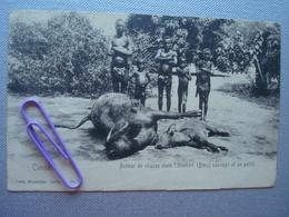 CONGO : Retour De Chasse Dans L'HIMBIRI,  Boeuf Sauvage Et Un Petit En  1908 - Congo - Kinshasa (ex Zaire)